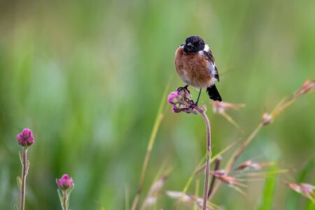 Close-up of a Stonechat male sitting on a perch with a soft green background