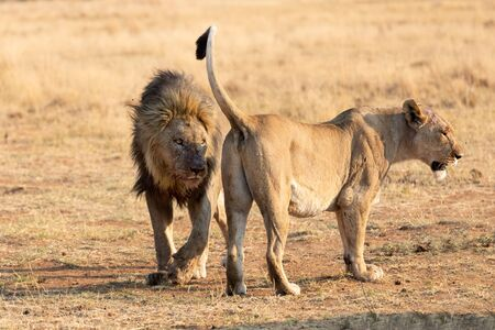 Big male lion approach a lioness to strengthen the relationship in the pride