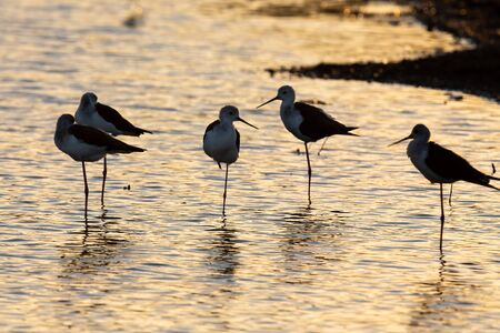 Group of Black-winged Stilts standing on one leg in the setting sun