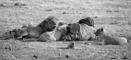 Pride of lions eating on a carcass on a dry plain artistic conversion Stock Photo