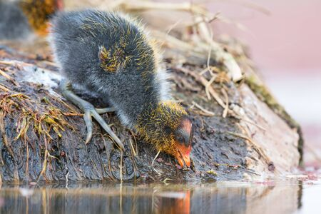 One Red-knobbed coot chick leaves the safety of a nest to swim on a pond Imagens