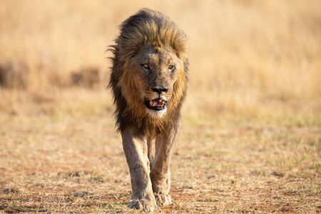Lone lion male walking through dry brown grass to hunt for food