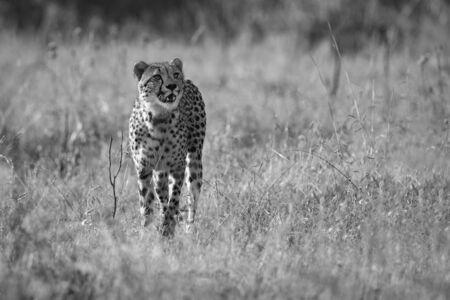 Lone Cheetah stalking prey through long grass of the veldt in artistic conversion