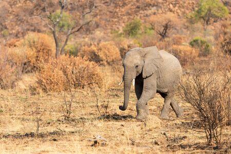 Lone elephant calf walking in Africa over a dry savanna plain
