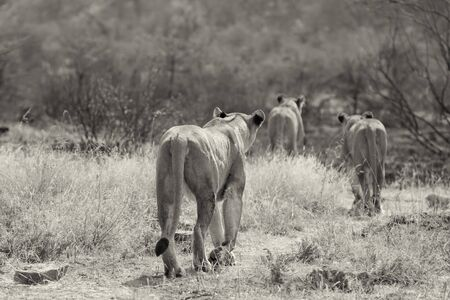 Three lionesses walking through dry brown grass to hunt for food artistic conversion