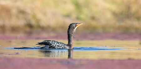 Single Reed Cormorant catch a fish a pond ready to swallow it