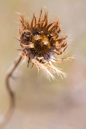 Macro of a brown wild flower seeds with detail and texture