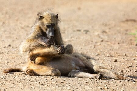 Two baboons relax and cleaning each other from insects and fleas