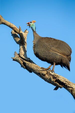 Large Guineafowl sitting high up in a dead tree with a bright blue background