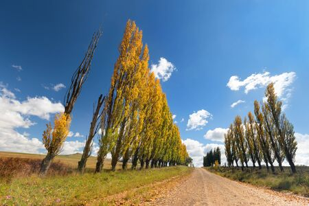 Row of autumn colour poplar trees lining the side of a broown dirt road