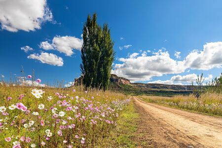 Autumn colour poplar trees lining the side of a dirt road with cosmos flowers Archivio Fotografico