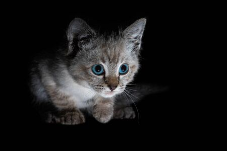 Beautiful striped grey kitten with blue eyes on a shiny surface with clear reflection