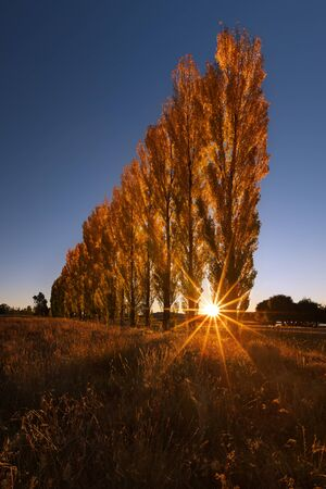 A stand of autumn colour poplar trees in a meadow with the sun setting behind them Archivio Fotografico