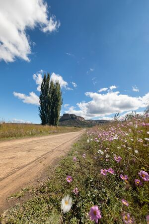 Autumn colour poplar trees lining the side of a dirt road with cosmos flowers