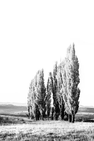 A stand of poplar trees in a meadow with short gras in monochrome high key