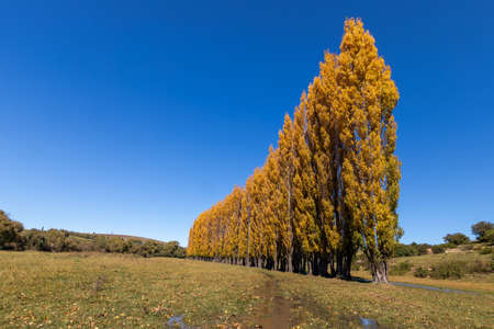 A stand of autumn colour poplar trees in a meadow with short gras and blue sky