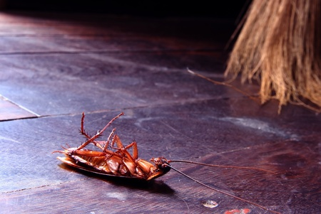 dead insect: Dead cockroaches