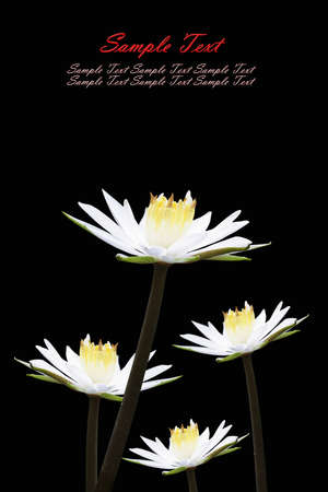 Isolated lotus white Stock Photo - 9894205