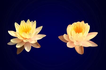 Isolated yellow lotus  photo
