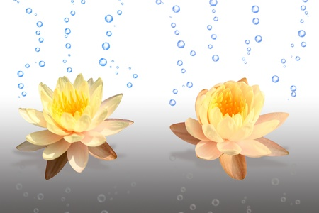 Yellow lotus flower isolated on white background photo
