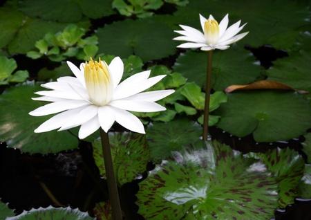 white lilly: White lotus