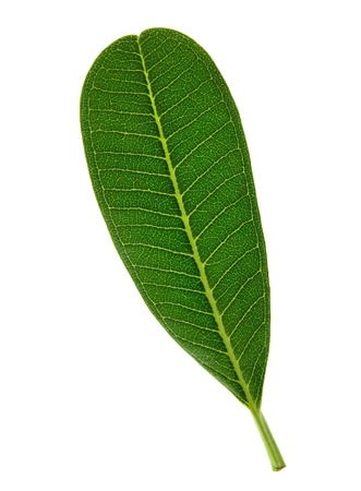 green leaf isolated on white background Stock Photo - 11640050