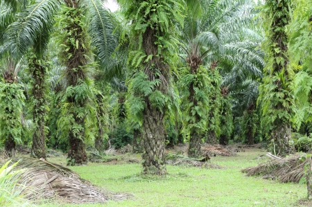palm garden: oil palm plantation