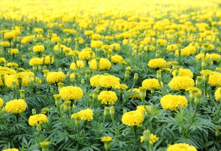 marigold flower field photo