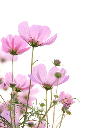 cosmos flowers: cosmos flowers isolated on white Stock Photo