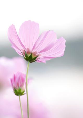 cosmos flowers: cosmos flowers Stock Photo