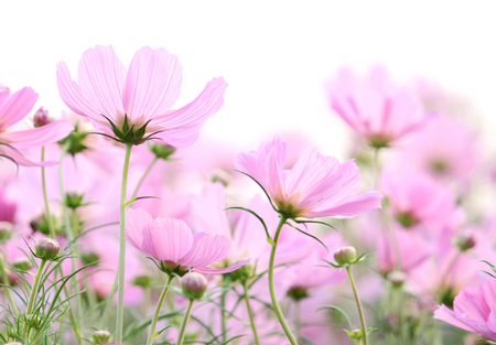 cosmos flowers isolated on white photo