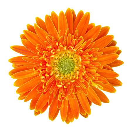 macro flowers: orange gerbera flower isolated on white