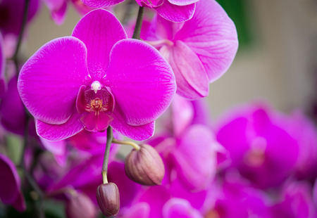 pink phalaenopsis orchid flower photo