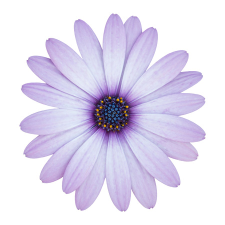 blue osteospermum daisy flower isolated on white with clipping path