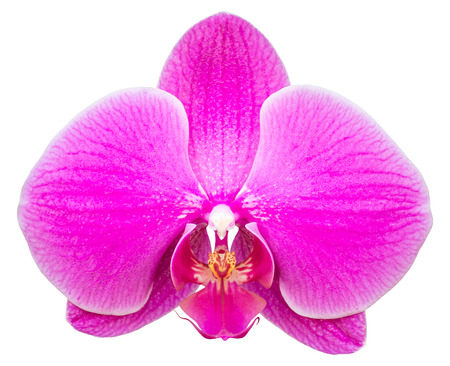 blooming purple: pink phalaenopsis orchid flower isolated on white with clipping path