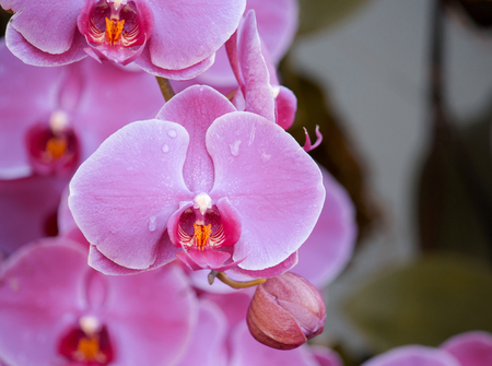 orchid: pink phalaenopsis orchid flower