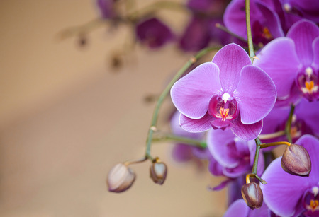 phalaenopsis orchid flower photo