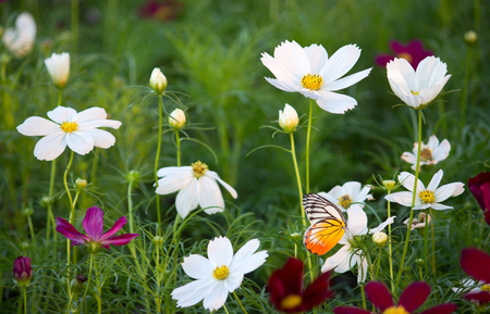 daisies: cosmos flowers Stock Photo
