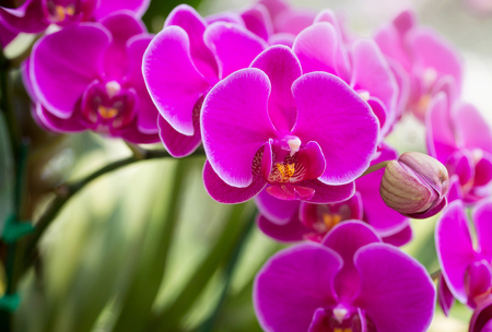 blue orchid: Pink phalaenopsis orchid flower