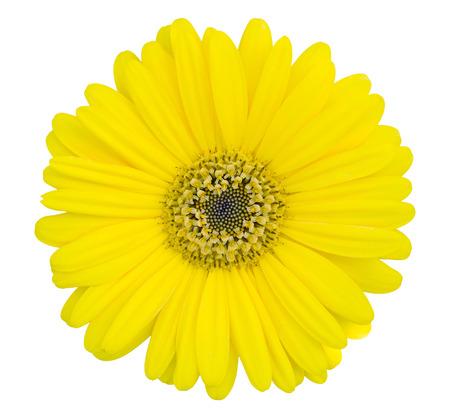 노란 gerbera 꽃 클리핑 패스와 함께 흰색에 격리