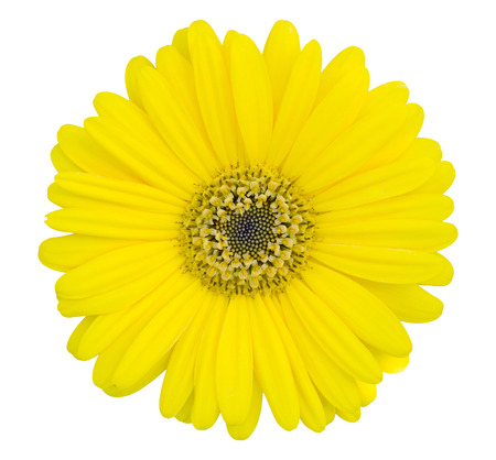 gerbera daisy: yellow gerbera flower isolated on white with clipping path