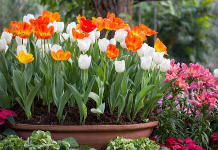 colorful tulips in a flower pot Imagens