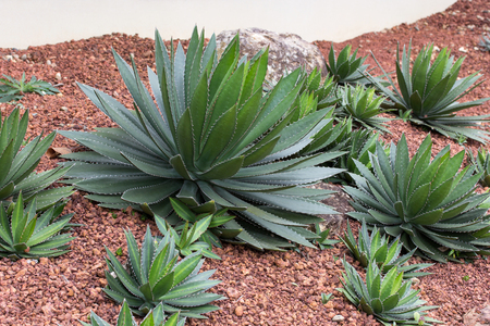 ornamental bush: Agave plant decorative in garden outdoor
