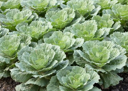 ornamental garden: Ornamental cabbage in a garden