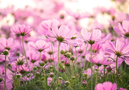 kosmos: Pink cosmos Blumen Lizenzfreie Bilder