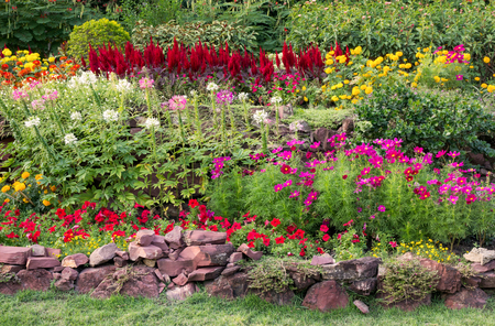 perennial: colorful flower in the garden