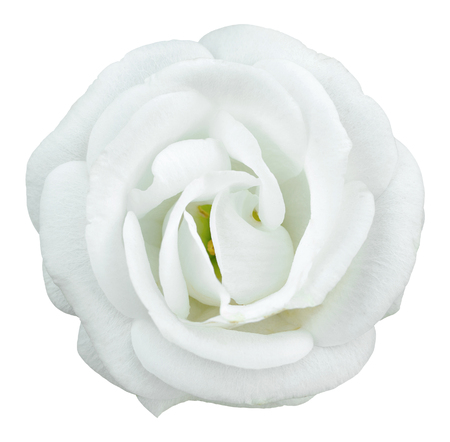 White rose flower isolated on white with clipping path