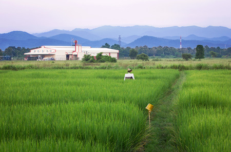 factory agriculture and the blue sky with rural area rice fields