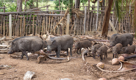 wild boar family on rural farm Stockfoto