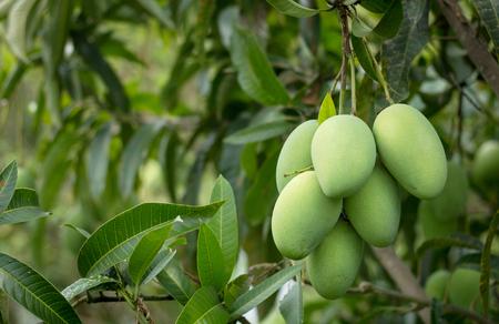 close up of mango fruit on the mango tree Stockfoto